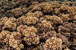 Hard coral reef, Kapa Island, Vava'u, Tonga