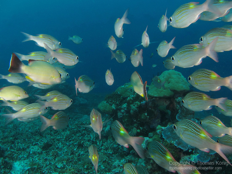 German Channel, Palau -- School of Striped Large-eye Breams (Gnathodentex aureolineatus)