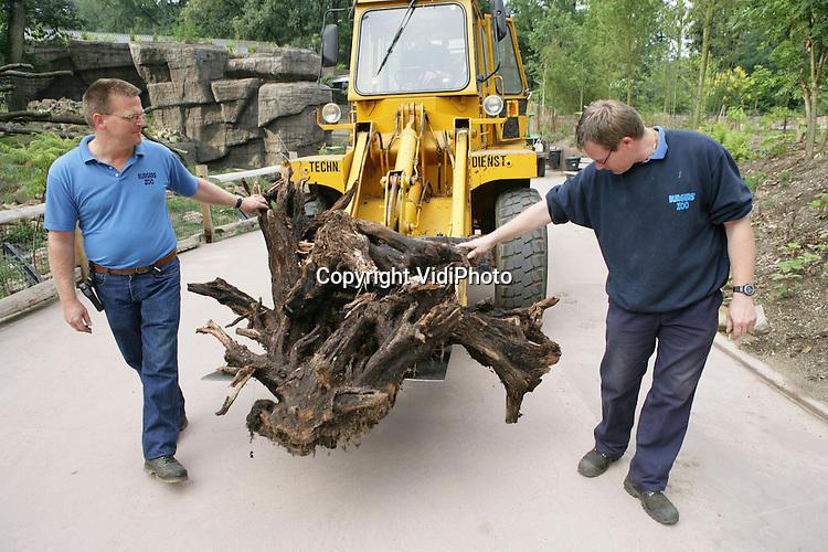 Foto: VidiPhoto..ARNHEM - Burgers' Zoon in Arnhem heeft een aantal 8000 jaar oude boomstronken gekregen die enkele weken geleden gevonden zijn in het veengebied bij het Groningse Roderwolde. Het hout is nog in prima conditie en sommige stukken zijn zwart geblakerd. Een deel van de oeroude stronken is maandag geplaatst in Rimba, het nieuwe deel van Burgers'. Opmerkelijk is dat alle stammen tijdens hun vondst in dezelfde richting bleken te liggen. Mogelijk het gevolg van een enorme waterverplaatsing.