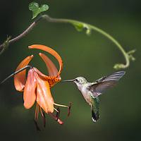 Birds: Hummingbirds, Swifts & Nocturnal_Strisores