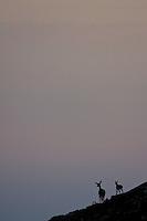 Red deer (Cervus elaphus), silhouette of hind with fawn. Western Tatras, Slovakia. June 2009. Mission: Ticha