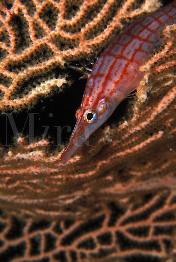 Longnose Hawk fish poking its head through a sea fan in the Solomon Islands.