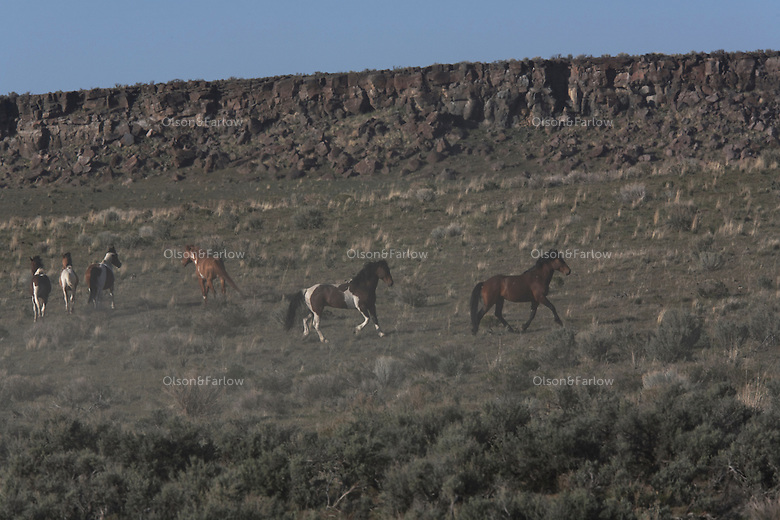 Paint colored stallion stands guard in South Steens.  This wild horse herd located south of Frenchglen in the high desert country with extremely rocky surfaces divided by deep canyons, rim rocks and plateaus. There are around 200 horses--pintos, sorresl, bays, palominos, brown, black, red roan and dun colored.