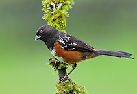 Spotted towhee (Pipilo maculatus) Adult male perched on a moss covered snag and peering down at something below.<br />