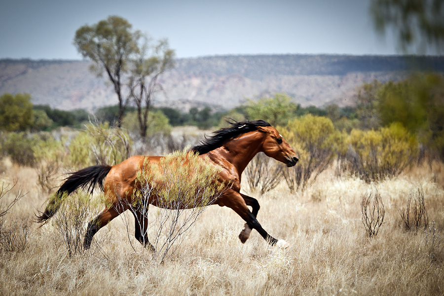 Wild Horse near Santa Teresa. Many horses at the races were free ranging Brumbies mustered and broken in just weeks before.