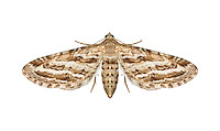 70.178 (1847)<br /> Scarce Pug - Eupithecia extensaria