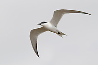 Gull-billed Tern - Gelochelidon nilotica - breeding adult