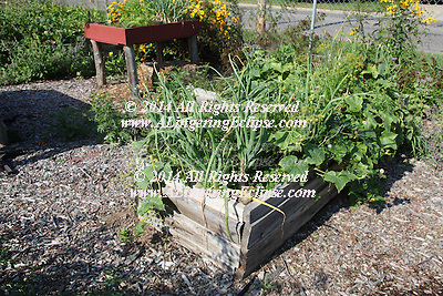 The Rhinelander Community Garden is an effort of the Master Gardeners of the region and local community volunteers.  They grow all summer long, and the entire harvest is donated to the Rhinelander Area Food Pantry.  These photos show one day in the garden, harvesting then the delivery and shelf stocking of the volunteers in anticipation of opening for the morning visitors.  It is a stunning testimony of neighbors using their talents and expertise to help other neighbors!