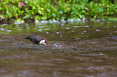 White-throated Dipper (Cinclus cinclus) with head under water. Dippers have a remarkable way to catch food in a niche area. They are able to dive under water readily at will and walk along the bottom in search of caddis fly larva and other food.