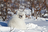 01863-01214 Arctic Fox (Alopex lagopus) in snow in winter, Churchill Wildlife Management Area, Churchill, MB Canada