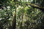Pristine tropical primary rainforest interior, with huge trees and many youthful saplings bursting from the forest floor. Supporting a diverse ecosystem in the world's oldest rainforest. Belaga district, Sarawak, Borneo 1991<br />