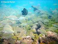 0111-1203  School of Blue Striped Grunts in Caribbean Reef, Haemulon sciurus  © David Kuhn/Dwight Kuhn Photography