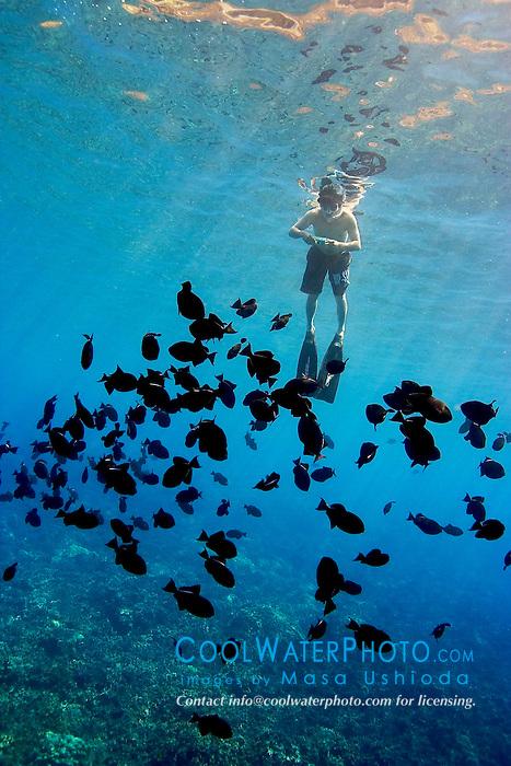 snorkeler and black triggerfish, Melichthys niger, Kealakekua Bay, Big Island, Hawaii, Pacific Ocean