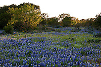 Sunset falls over a field of Texas Bluebonnets (Lupinus texensis), Mesquite trees and brush in the Texas Hill Country, Llano County, Texas, USA