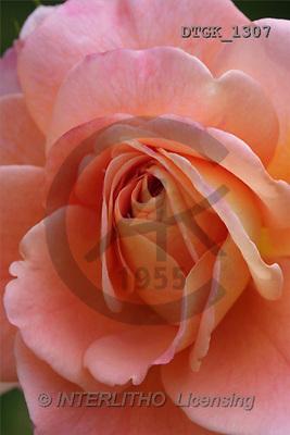 Gisela, FLOWERS, photos(DTGK1307,#F#) Blumen, flores, retrato