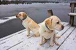 2 Labradors on dock in winter with snow and ice.