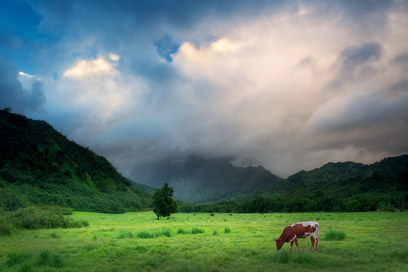 Pasture and storm clouds with cows. Kauai, Hawaii