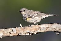 Yellow-rumped Warbler - Setophaga coronata (Audubon's) - Adult female breeding