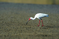 American white ibis, Eudocimus albus, feeding on a crab, foraging in mangrove, mud flats, Baja California, Mexico, Gulf of California, aka Sea of Cortez, Pacific Ocean
