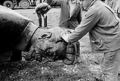 Moscow, Russia<br /> Soviet Union<br /> August 30, 1991<br /> <br /> After Communist rule crumbled the statue of Soviet-era secret police chief Felix Dzerzhinsky, is taken from its site in front of the FSB security service headquarters in Lubyanka Square and placed in a backyard of the Moscow's Central House of Artists .<br /> <br /> The Union of Rightist Forces, known by its Russian initials of SPS, began collecting signatures to block the return of the monument, which had been removed from Lubyanka Square in August 1991 after Communist rule crumbled. <br /> <br /> In December 1991, food shortages in central Russia had prompted food rationing in the Moscow area for the first time since World War II. Amid steady collapse, Soviet President Gorbachev and his government continued to oppose rapid market reforms like Yavlinsky's &quot;500 Days&quot; program. To break Gorbachev's opposition, Yeltsin decided to disband the USSR in accordance with the Treaty of the Union of 1922 and thereby remove Gorbachev and the Soviet government from power. The step was also enthusiastically supported by the governments of Ukraine and Belarus, which were parties of the Treaty of 1922 along with Russia.<br /> <br /> On December 21, 1991, representatives of all member republics except Georgia signed the Alma-Ata Protocol, in which they confirmed the dissolution of the Union. That same day, all former-Soviet republics agreed to join the CIS, with the exception of the three Baltic States.