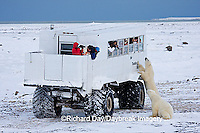 01874-11117 Polar bears (Ursus maritimus) near Tundra Buggy, Churchill, MB