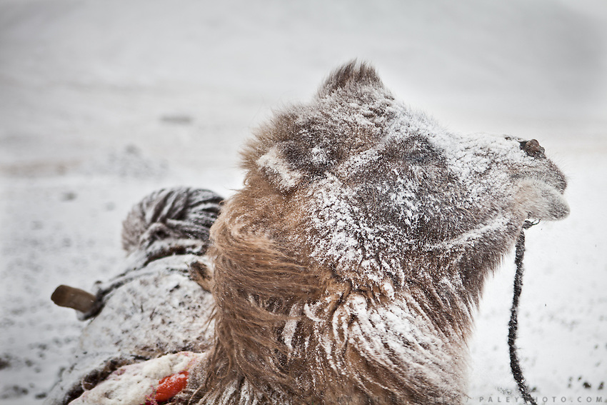 A young Bactrian camel, after a snow storm..In and around the camp of Ortobil, Manara (Sufi camp), near the borders with China and Tajikistan..Trekking with yak caravan through the Little Pamir where the Afghan Kyrgyz community live all year, on the borders of China, Tajikistan and Pakistan.
