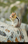 Golden-Mantled Ground Squirrel eating a Nut on a Granodiorite boulder in Spring, Callospermophilus lateralis, Taft Point, Yosemite National Park