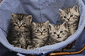 Carl, ANIMALS, photos, 4 grey kitten(SWLA3060,#A#) Katzen, gatos