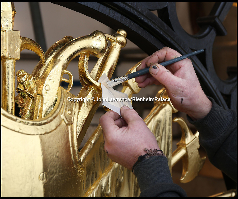 BNPS.co.uk (0102 558833)<br /> Pic: BlenheimPalace/BNPS<br /> <br /> Gilder John Naysmith at work.<br /> <br /> Golden Gates restored to their former glory.<br /> <br /> The majestic gates which guard the entrance to Blenheim Palace, Sir Winston Churchill's birthplace, have been given a golden makeover.<br /> <br /> The largest monumental entrance to a private palace in Britain, the massive 20 ft high, 17 tonne gates, installed in 1852, have been painstakingly restored using over 6,000 leaves of 24 carat gold.<br /> <br /> Gilder John Naysmith painstakingly stripped and re-painted the wrought iron and then applied 240 books of gold leaf to the Marlborough coat of arms and crest by hand.