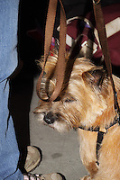 Terrier at international dog show in prague 2014. Left part of owners leg, while holding the brown lead to the dogs harnish.