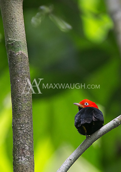 The red-capped manakin is famous for its moonwalking courtship dance.