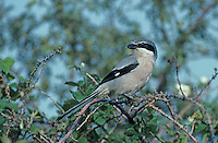 Southern Grey Shrike, Lanius meridionalis , adult, Camargue, France, May 1993