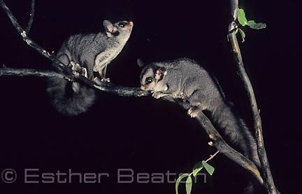 Sugar Gliders (Petaurus breviceps) southeastern Australia
