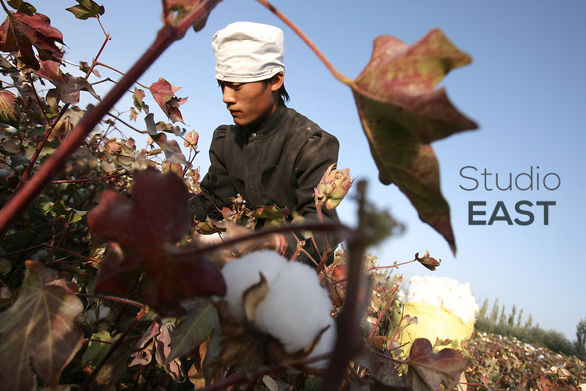 A worker harvests cotton in a cotton field near Korla, Xinjiang province, China, Tuesday, October 10, 2006.