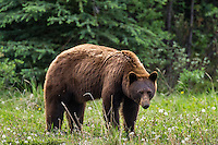 Cinnamon phase Black Bear (Ursus americanus).  Northern Rockies.  June.