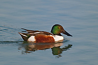 578370002 a wild male northern shoveler duck anas clypeata swims in a pond at edinburg world birding center edinburg texas united states