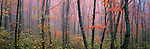 The graceful limbs of oaks in fall provide the primary focus of this panoramic view of Minnesota's North Woods. Heavy moisture-laden air envelopes these forests every fall as their close proximity to Lake Superior becomes obvious.