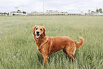 Breed: Golden Retriever <br />