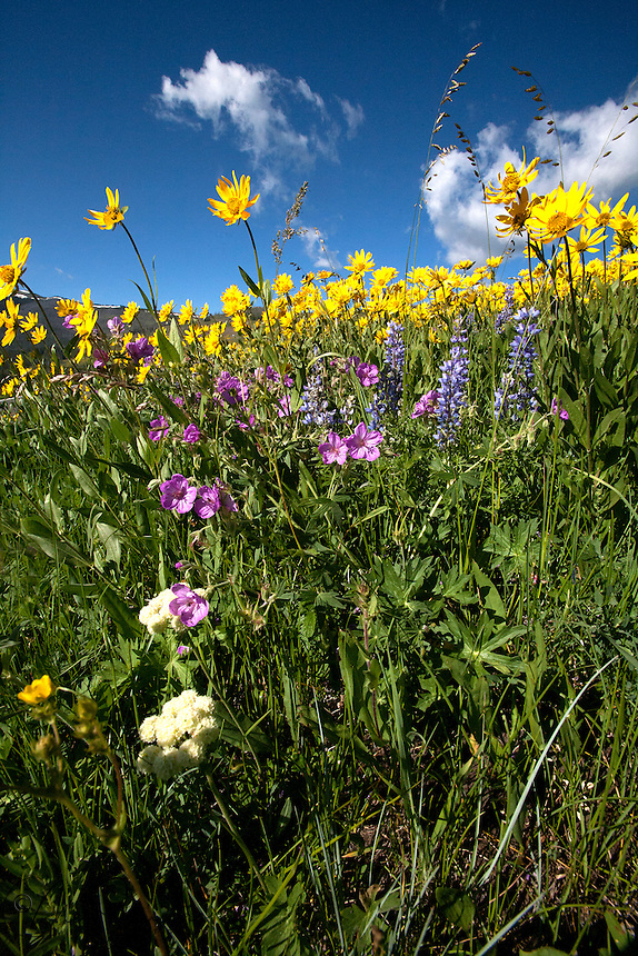 Little Sunflower (Helianthella uniflora) grow in profusion on Mount Washburn together with sticky geranium, lupine and yarrow.<br /> Mount Washburn, Yellowstone