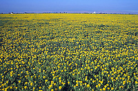 young flowering safflower plants California