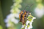 Margined Leatherwing Beetle (mating)