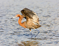 Adult intermediate-color phase reddish egret chasing fish. Notice white feathers under wings.