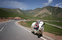 A yak stands my the side of a mountain road on the Qinghai-Tibetan Plateau, Qinghai Province. China. 2010