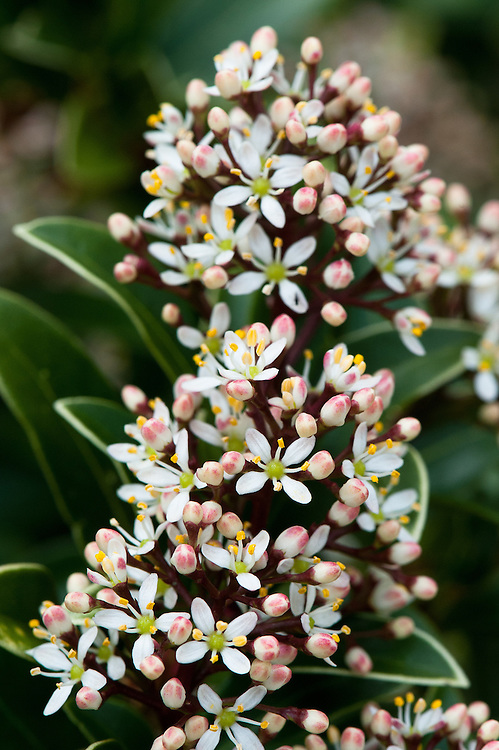 Skimmia japonica 'MacPenny Dwarf' in flower, late March.