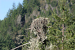 Osprey in nest along Russian River, CA