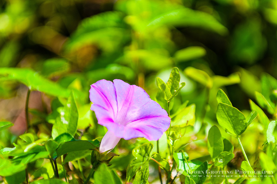 US, Florida, Everglades. Anhinga Trail Boardwalk. Purple Morning glory flower.