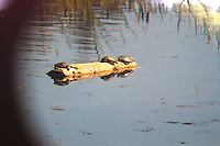 Western Pond Turtles viewed through a telescope in lakewood, Washington.