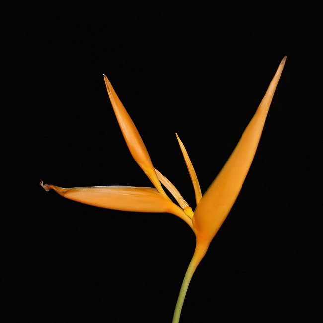 Sngle bright golden-orange, Bird of Paradise on a green stem standing out against a black background. Photographed in Thailand.