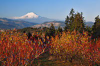 Pear orchard in Upper Hood River Valley Oregon with Mt Adams on the horizon in the state of Washington