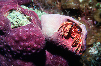 HERMIT CRAB ON SPONGE<br /> Hermit Crabs Inhabit Shells Left By Other Animals<br /> Hermit crabs are decopod crustaceans with long, spiraling abdomens. They salvage empty gastropod shells and change shells as needed depending on growth. Most live in varying depths of saltwater habitats.